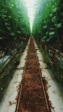 greenhouse Plant Tomaten