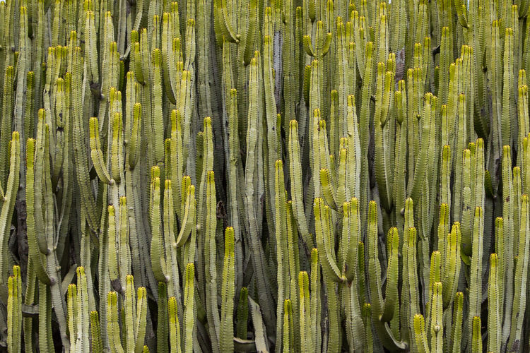 The cactus Cactus Green Plants Abundance Backgrounds Close-up Day Food Freshness Full Frame Growth Nature No People Outdoors Pattern Textured