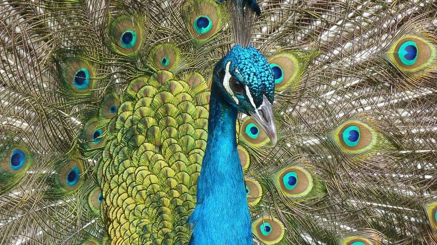 Animal Themes Animal Wildlife Animals In The Wild Backgrounds Beauty In Nature Bird Blue Close-up Day Fanned Out Full Frame Multi Colored Nature No People One Animal Outdoors Peacock Peacock Feather