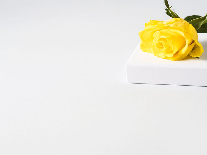 Close-up of yellow rose over white background