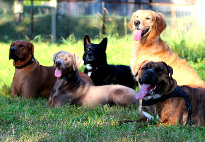 Animal Themes Day Dog Domestic Animals Friendship Grass Gruppenfotos Hunde Mammal Nature No People Outdoors Pets RudeL Togetherness Viele Hunde ZUNGE