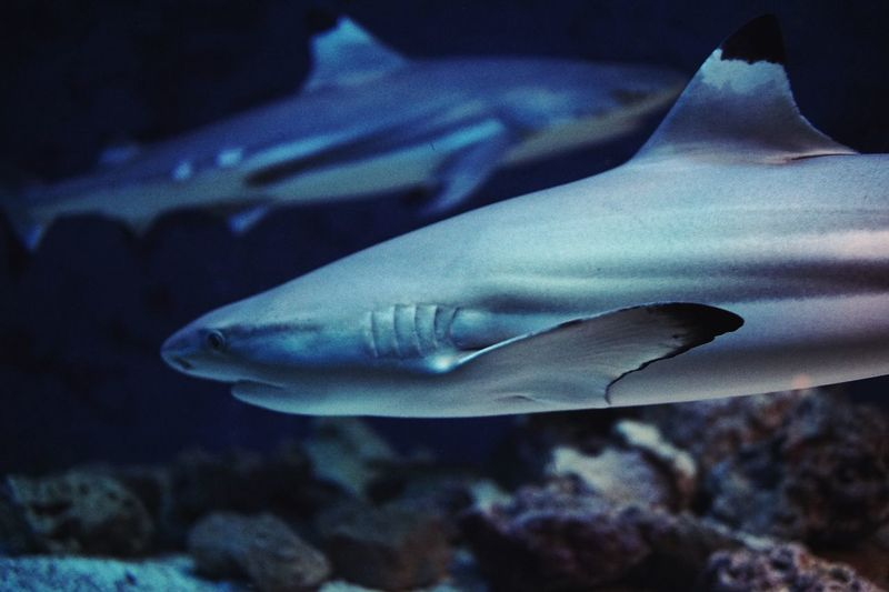 Two sharks on one picture. A very lucky shot. Close-up Underwater Animal Themes Sea Life Animals In The Wild UnderSea Aquarium Sea Shark Sharks Teeth Animals Animal Aquarium Life Fish Swimming Water Nature Zoo ZooLeipzig Leipzig Two No People Dangerous UnderSea