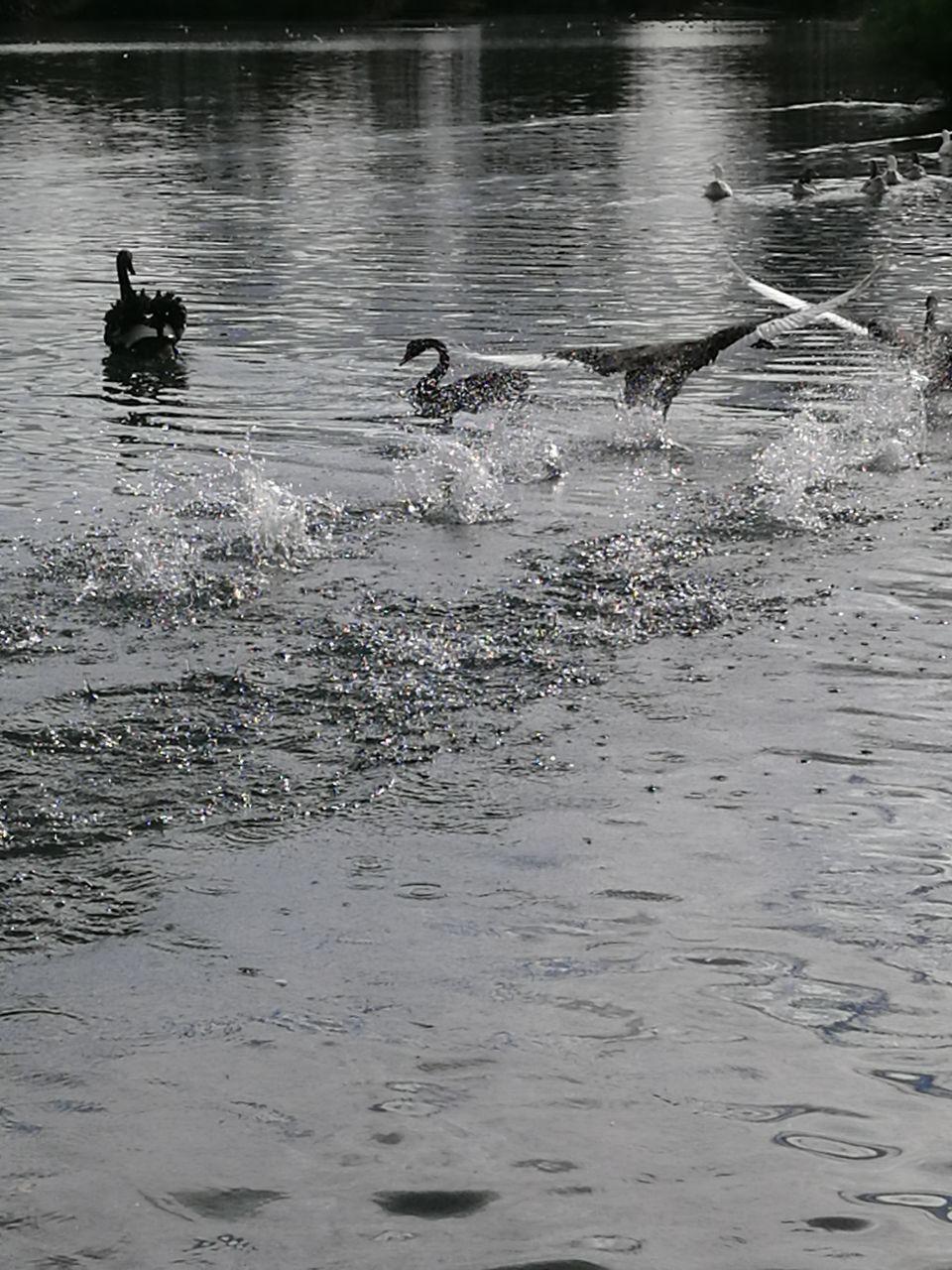 water, animal, animal themes, animals in the wild, group of animals, animal wildlife, vertebrate, waterfront, bird, swimming, day, nature, motion, lake, outdoors, no people, splashing, mammal, rippled, duck