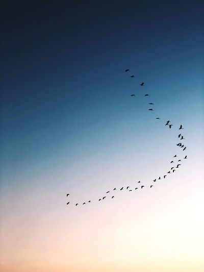 Birds in the sky Birds Sky Flying Bird Large Group Of Animals Group Of Animals Animal Themes Animals In The Wild Animal Low Angle View Flock Of Birds Blue Nature Sunset Beauty In Nature Animal Wildlife Clear Sky No People Scenics - Nature First Eyeem Photo