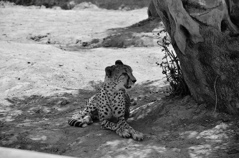Monochrome Photography One Animal Animal Themes Tree Trunk Animals In The Wild Wildlife Mammal Field Zoology Outdoors Animal Tiger Attica Zoological Park Atticazoo