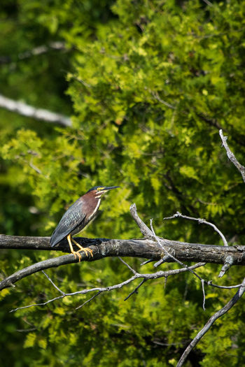 Animal Themes Animal Wildlife Animals In The Wild Beauty In Nature Bird Bird Photography Birds Birds_collection Branch Day Focus On Foreground Green Green Color Green Color Greenheron Nature No People One Animal Outdoors Perching Tree