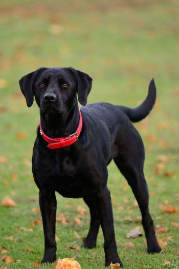Portrait of black labrador on grassy field