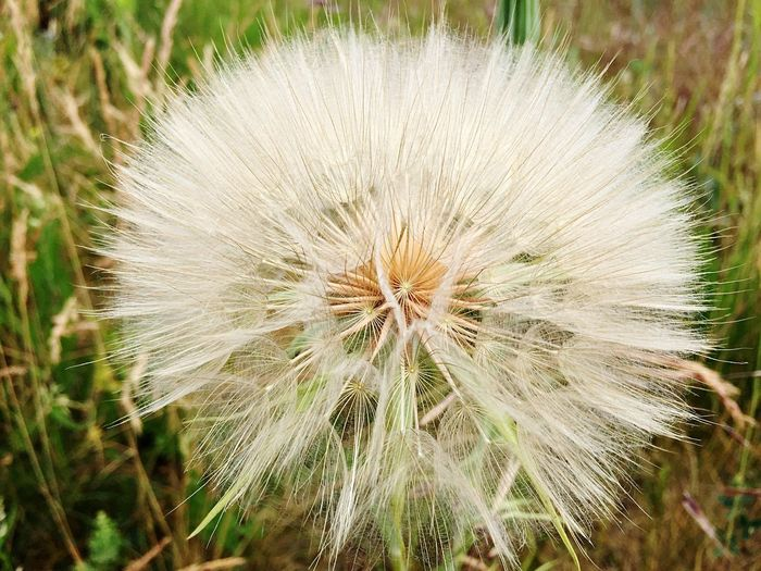 Plant Freshness Close-up Flower Dandelion Flowering Plant Beauty In Nature Outdoors No People