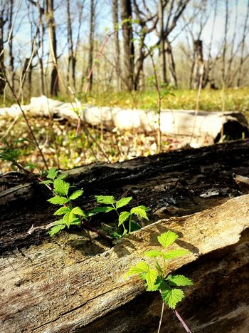 Outside Minnesota Nature EyeEm Nature Lover Flora Plant Vine Vines And Leaves Forest Photography Nature Dead Tree Minnesota Springtime Plant Life Climbing Plants Small Trees Young Trees Life Relaxing