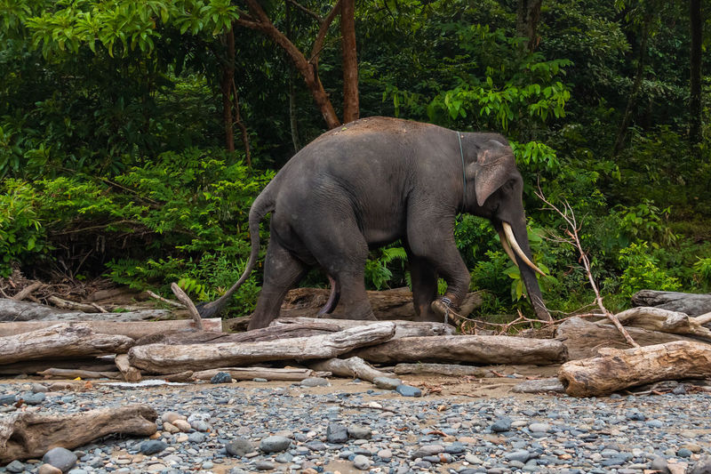 Elephant standing on rock in forest