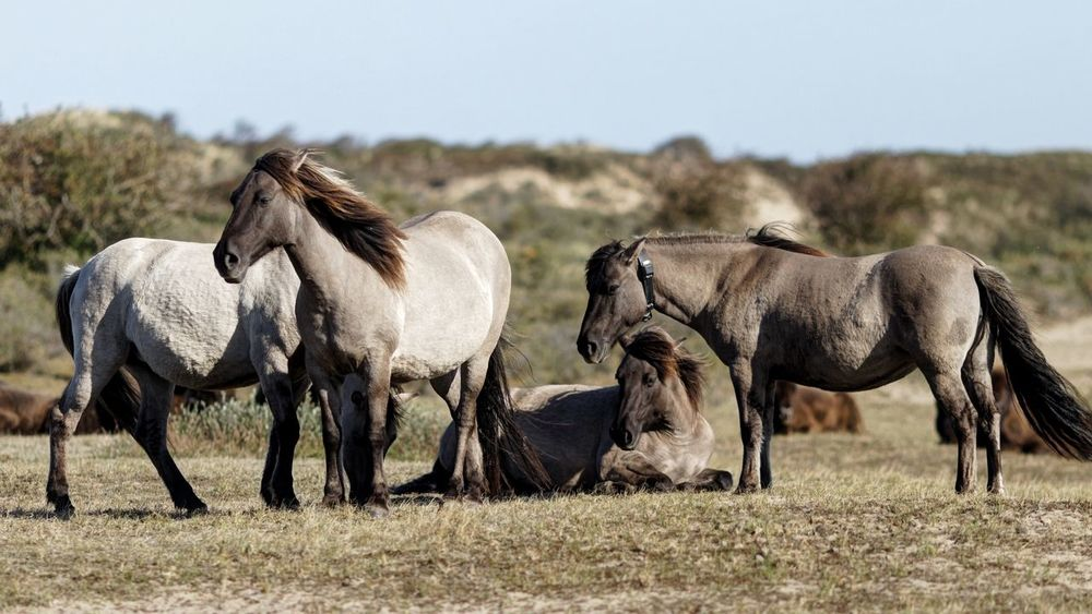 Dunes Of Holland Konik Horses Group Of Animals Animal Animal Themes Animal Wildlife Mammal Field Animals In The Wild