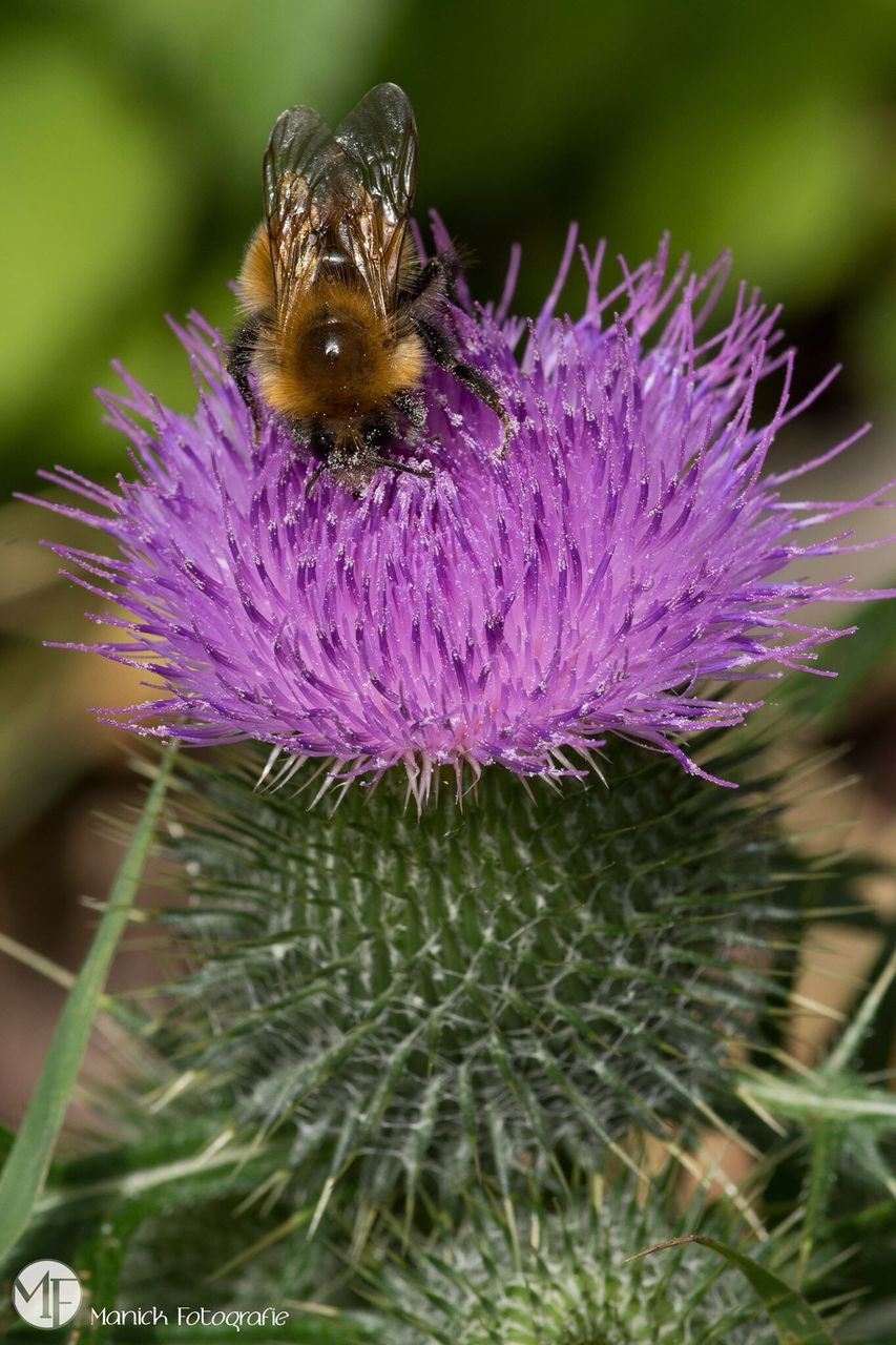 flower, one animal, insect, animal themes, animals in the wild, nature, purple, beauty in nature, fragility, animal wildlife, no people, freshness, growth, close-up, plant, petal, bumblebee, focus on foreground, day, outdoors, bee, pollination, flower head, thistle, mammal