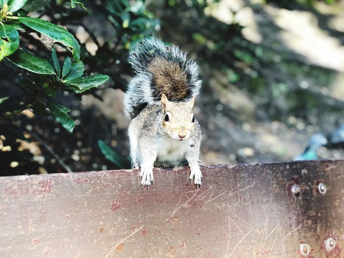 Close-up of squirrel on bench