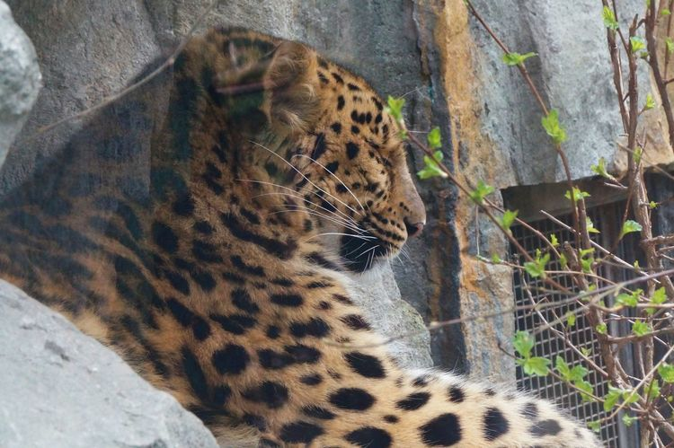 Big Cat Close-up Day Feline Leopard One Animal Outdoors Zoo Leipzig Zoo Life