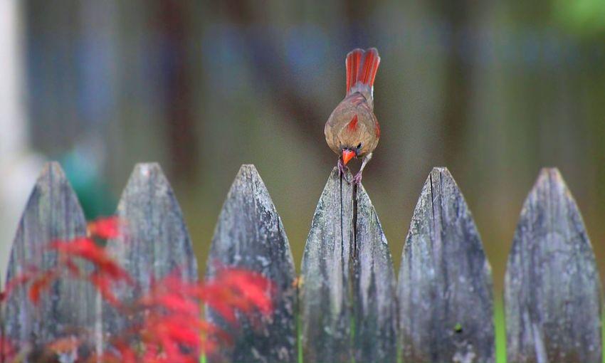 Female Cardinal Matching Foliage