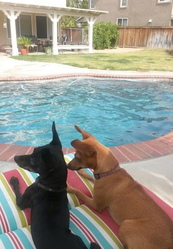 Swimming Pool Domestic Animals Minpins Minpinbuddies Lieblingsteil EyeEmNewHere Outdoors Pool Side Summer Time  Family❤