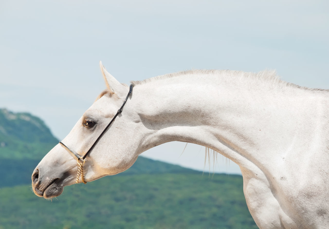 one animal, animal themes, domestic animals, animal, mammal, livestock, domestic, pets, vertebrate, horse, animal wildlife, no people, sky, focus on foreground, animal body part, close-up, working animal, day, nature, white color, herbivorous, animal head, profile view, ranch