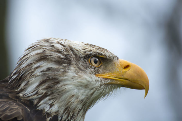 Close-up side view of eagle looking away outdoors