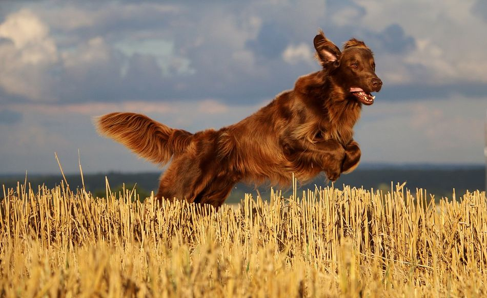 flat coated retriever is jumping on a stubble field in the sunshine EyeEm Pets Funny Hunter Action Active Animal Themes Brown Coated Day Dog Domestic Animals Field Flat Flat Coated Retriever Grass Mammal Nature No People One Animal Outdoors Pets Retriever Sky Sport Stubble