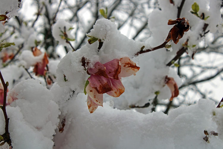 Close-up of frozen cherry blossom during winter