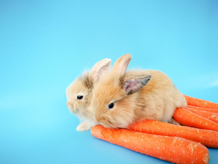 Baby rabbit eat carrot on blue background Pets One Animal Blue Background Animal Rodent Hamster Cute Animal Themes Animal Wildlife Mammal Blue Colored Background Domestic Animals Human Body Part Human Hand Close-up Day One Person Outdoors People
