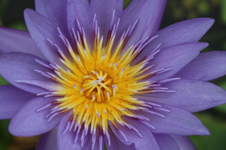 Essence Of Summer Lotus Flower EyeEm Flower LotusPurple Flower Purple Lotus Close-up Yellow Flower Collection Lotus Flowers Color Palette