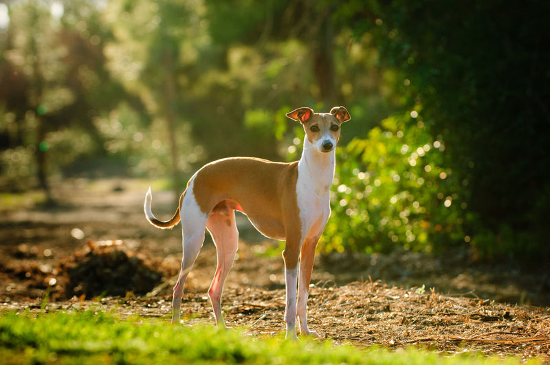 Italian Greyhound standing in park Animal Animal Themes One Animal Day Plant Standing Field Full Length No People Portrait Outdoors Sunlight Looking At Camera Nature Italian Greyhound Standing Afternoon