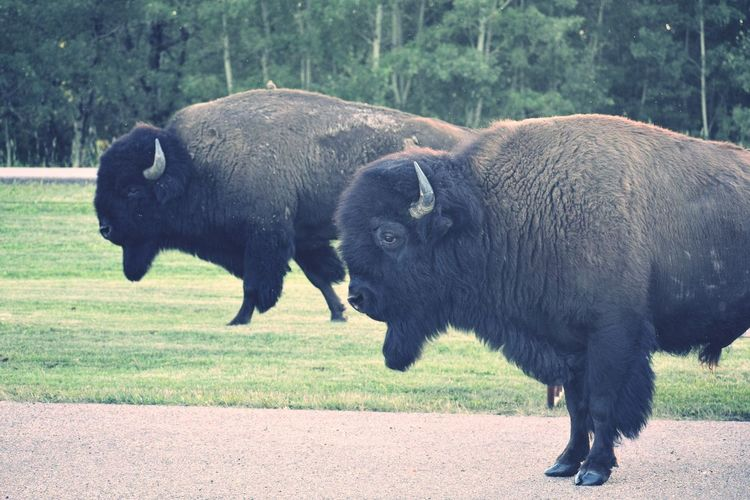 Two Bison in