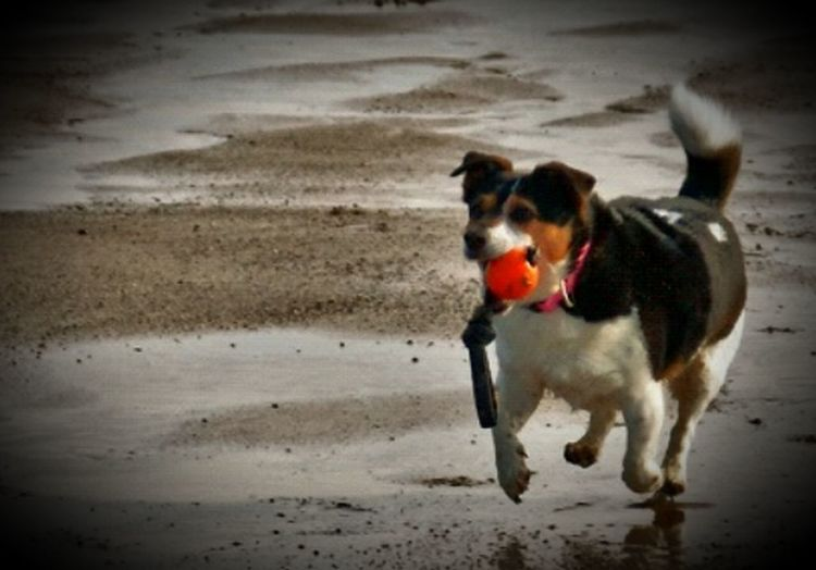 Jackrussell Single Dog Beach Dog Dog Playing With Tides Mablethorpebeach Wet Dog
