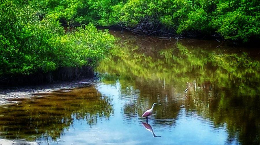 Roseate Spoonbill Mangrove Life Mangroves Water Reflections Pelican Island National Wildlife Refuge