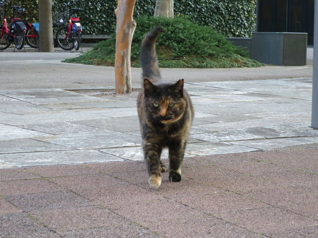 Cat Cat Lovers Cat Walking Cats Day Domestic Cat Looking At Camera No People One Animal Outdoors Stray Cat