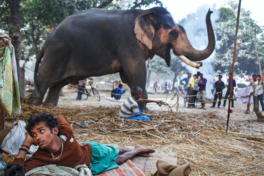 An elephant at the animal market at Sonepur Mela in the state of Bihar, India. ASIA India Bihar Sonepurmela Sonepur Sonpur Elephant Fair Festival Animal People And Places