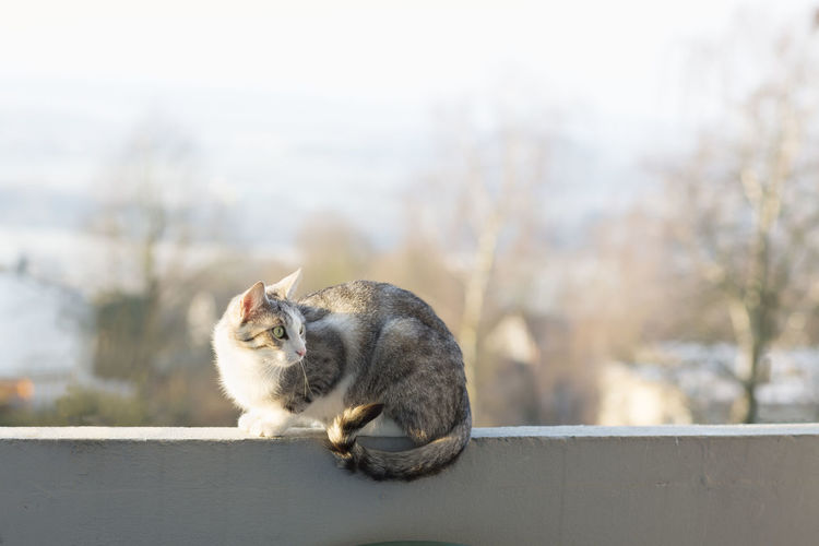 tabby cat sitting on wall outdoors Animal Themes Cat Day Domestic Cat Full Length Looking Sideways Mammal Nature No People One Animal Outdoors Pet Pet.looki Pets