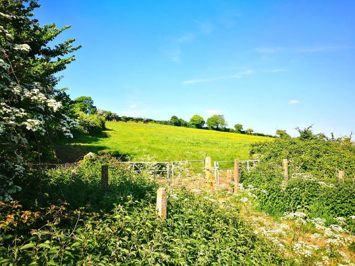 Blue Sky Summer Sunshine Old Railway Cow Parsley Hawthorn Blossom May Flowers Cattle Meadow Buttercups Tree Sky Grass Green Color Cloud - Sky Lush - Description Cultivated Land Lush Foliage Farmland Agricultural Field Barbed Wire Farm Greenery Fence