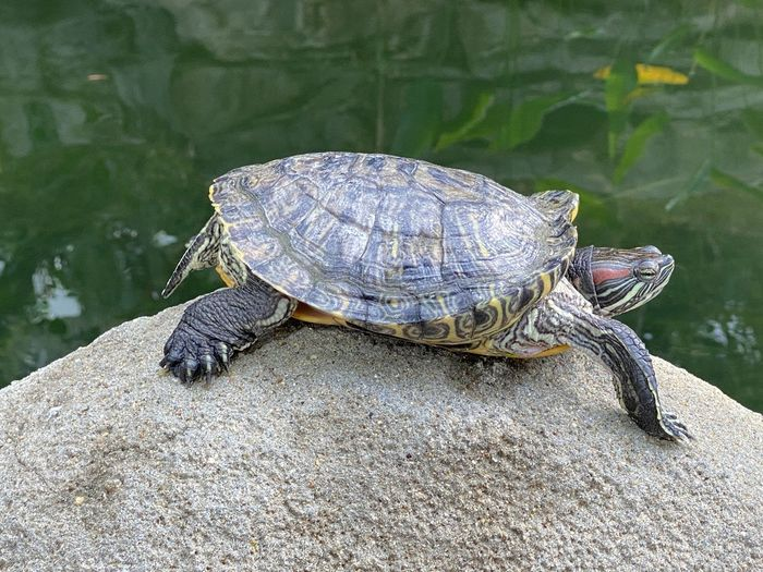 View of turtle on rock by lake