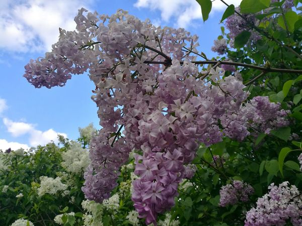 Lilac Lilacs Lilac Color Lilac Flower Lilac Bush Lilac Tree Flower Collection P9 Huawei Flowers,Plants & Garden Springtime Flower Spring Garden Outdoors Blossom Branch Beauty In Nature Nature Growth Low Angle View Sky Freshness Flowers And Sky Blossoms In The Sky Blossoms  Parks And Recreation