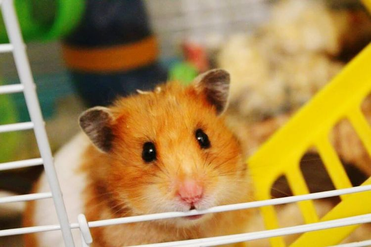 Syrian Hamster  Hamster