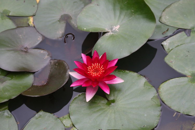 Flower Water Lily Floating On Water Nature Lotus Water Lily Beauty In Nature Pink Color Water Fragility Red Growth Flower Head Water Plant кувшинка Floral Photography Natural Beauty Water Lilly Waterlilly Water Lily, Flower Plant Freshness Water Lily Leaf Beauty In Nature Outdoors Close-up