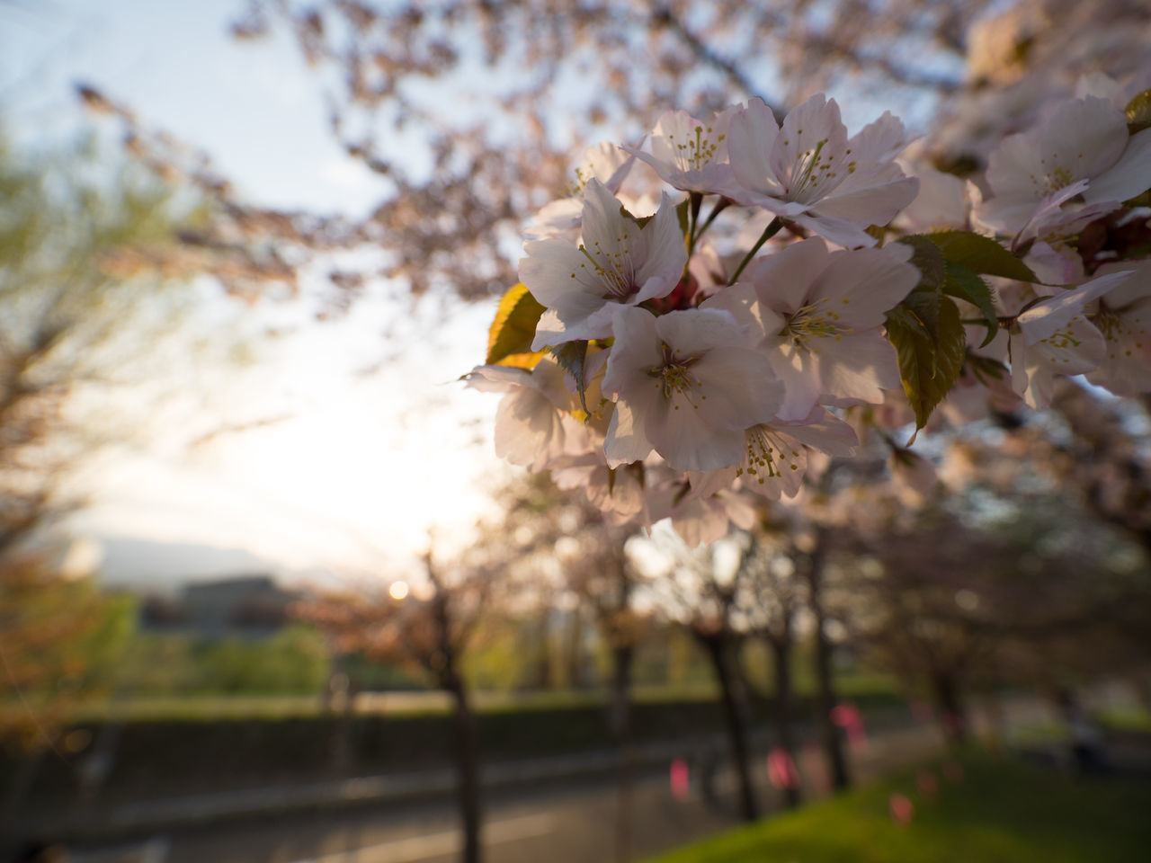 flower, tree, blossom, beauty in nature, cherry blossom, fragility, growth, springtime, nature, apple blossom, white color, freshness, branch, apple tree, cherry tree, orchard, botany, petal, flower head, no people, twig, outdoors, day, focus on foreground, close-up, blooming, plum blossom, sky