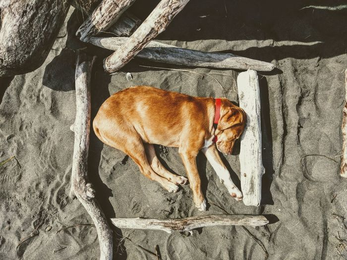 One Animal Animal Themes Shadow Sunlight Mammal High Angle View No People Pets Dog Domestic Animals Outdoors Nap Sleeping Dog Bed Beach Tired Puppy Labrador Framed Frame It! Full Length Puppy Love Driftwood Art Exhausted Driftwood Pet Portraits Summer Exploratorium
