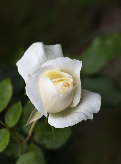 beautiful cream white rose bud against a dark green foliage background with copy space, rose tchaikovsky from the breeder Meilland Copy Space Dark Green Meilland Beauty In Nature Blossom Bred Bud Cream Day Flower Flowering Plant Growth Inocence  Nature No People Outdoors Petal Plant Purity Rosé Rose🌹 Tchaikovsky White
