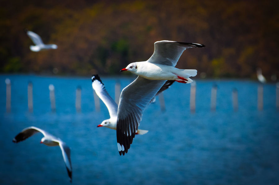 Animal Themes Animal Wildlife Animals In The Wild Beauty In Nature Bird Day Flying Focus On Foreground Mid-air Motion Nature No People Outdoors Sea Bird Seagull Spread Wings Water นกนางนวล บางป