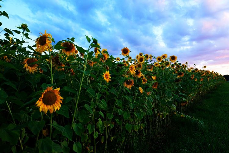 Sunflowers Beauty In Nature Blooming Field Flower Flower Head Nature No People Outdoors Sunflower