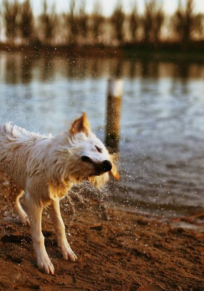 Wet White Belgian Sheepdog Shaking Water By Lake
