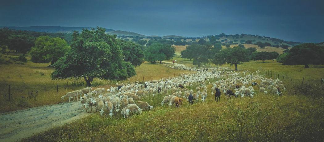 Estamos haciendo al verea Andalucía Dehesa Ovejas Pastores Pastores Sierra De Segura Sheep Sheeps Sheep🐑 Trashumancia TrashumanciaJaén Vías Pecuarias