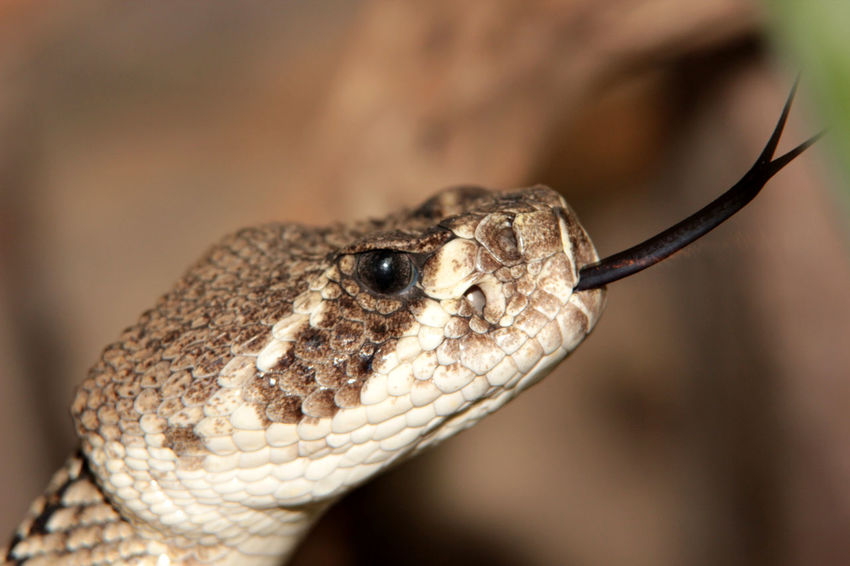 Focus On Foreground One Animal Reptile Reptile Photography Snake Snakes Are Beautiful Terrazoo TerraZoo Rheinberg