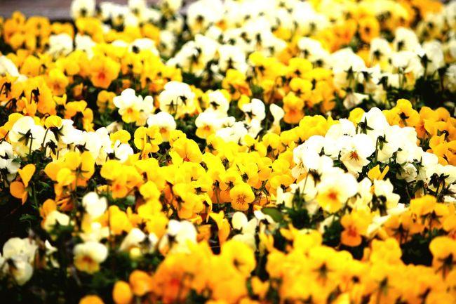 Flowers Flores Blumen Blommor Blomster Colorful Copenhagen I used my Canon350D