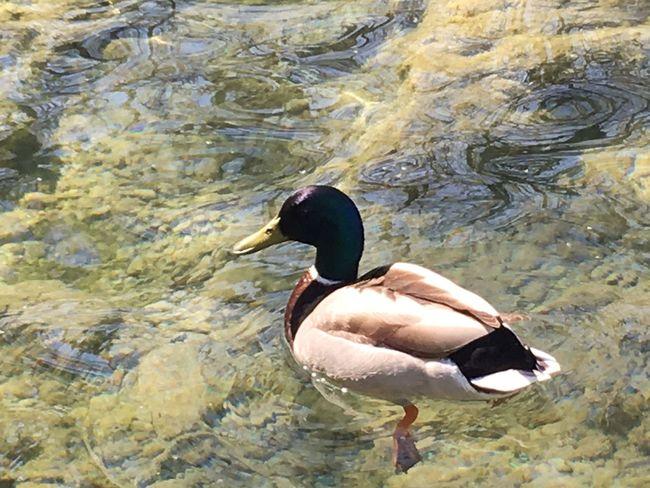 Water Lake One Animal Ducks Nature Nature_collection Nature Photography Water_collection Water Bird
