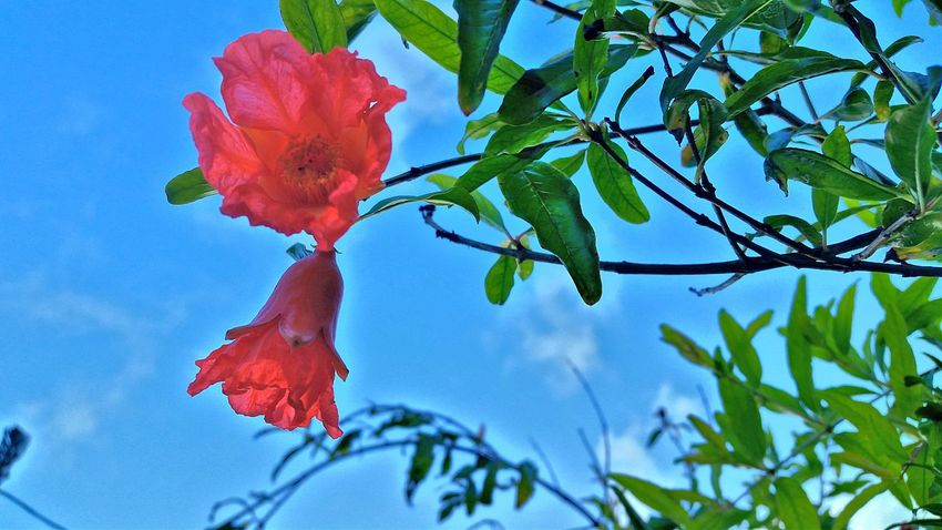 Leaf Nature Growth Low Angle View Beauty In Nature Branch Plant Flower Day No People Blue Tree Red Outdoors Sky Flower Head Pomegranate Pomegranate Flowers Pomegranate Tree Fragility Fruit Freshness Mobile Photography St. Croix USVI