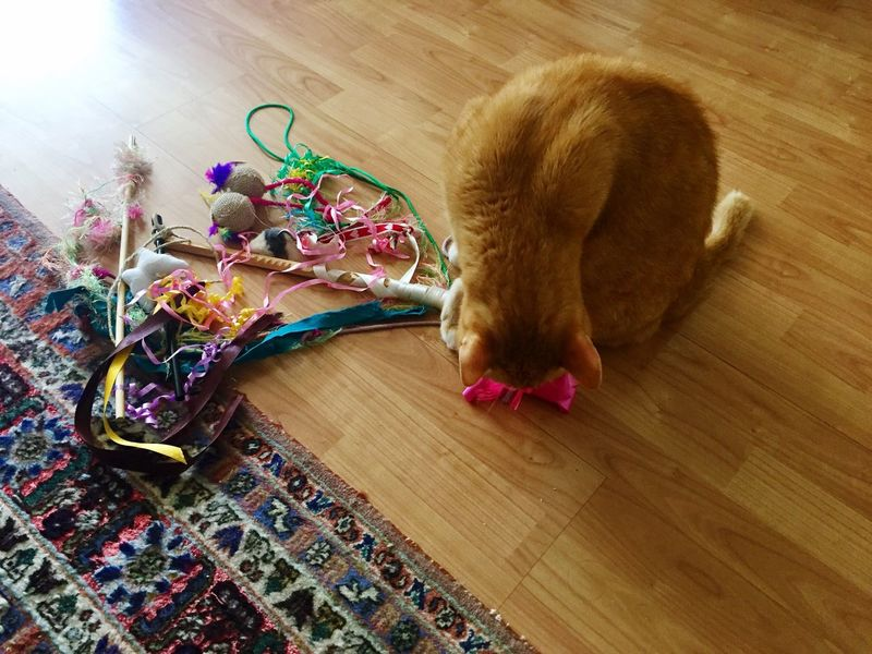 Loop Pink Loop Multi Colored Cat Lovers 🐱💞 Art Is Everywhere Cat Toys Myself Cat Photography Cat Collection The Cat Condition 3XPSUnity Ginger Cat Indoors  Hardwood Floor Cat Model